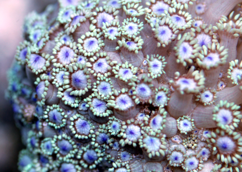 "Goniopora ""Blue Point"""
