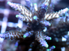 "Acropora sp. ""green/blue"""
